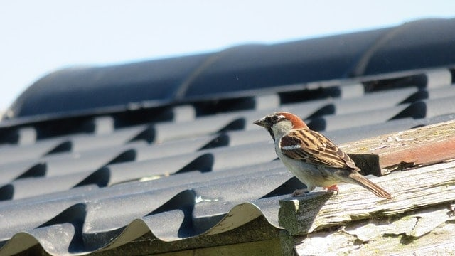Shingled roof sparrow sitting on eave