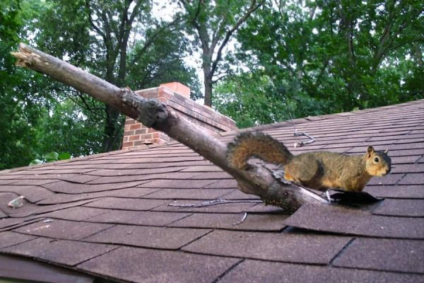 Rodent On Roof