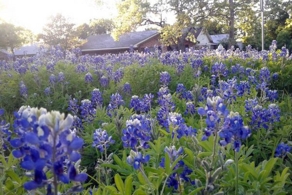 Bluebonnets cover a field in the suburbs of San Marcos.