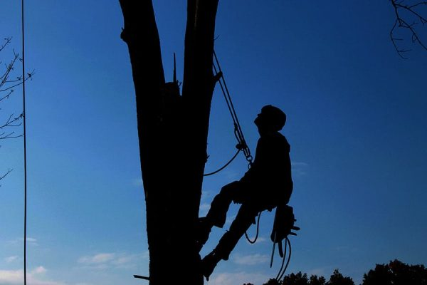 A professional with proper safety gear climbs a tall tree.